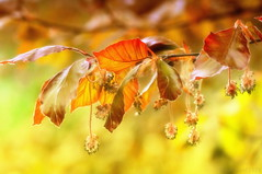 leaves in the eveningsun (PIXXELGAMES - Robert Krenker) Tags: flower macro tree leave leaves nikon eveningsun bokeh 1001nights blatt blte soe baum buche 28105 d300 fagussylvatica blueribbonwinner rotbuche shieldofexcellence saveearth platinumphoto ultimateshot diamondclassphotographer brillianteyejewel rubyyyk nikond300 natureselegantshots salveanatureza qualitypixels flickrfloresemacros