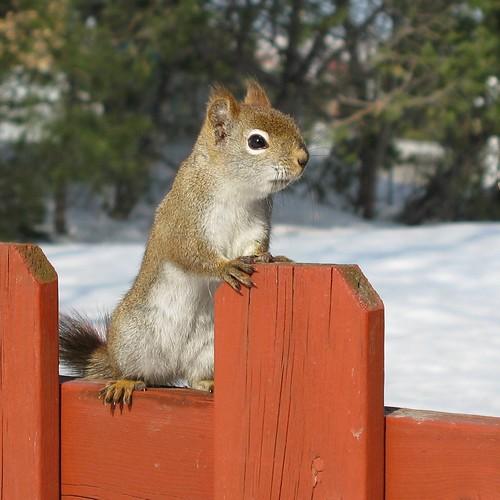 Écureuil curieux -- Inquisitive squirrel (by Gilles Gonthier)