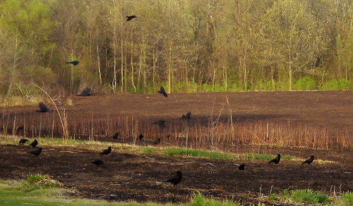 Crows Picking Over the Prairie Burn on Madison's West Side