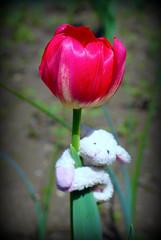 for me (Singing With Light) Tags: sheep pentax tulip justforfun magnetictoy k200d