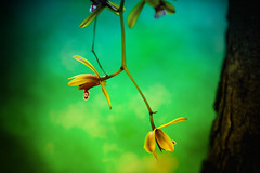Always fall for love (kktp_) Tags: park flowers nature thailand nikon dof orchids bokeh bangkok 70200mmf28gvr d80 ehbd
