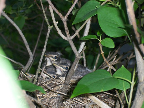 4 baby robins
