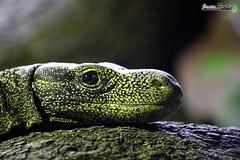 Lagarto Contento (javierreyes.es) Tags: lizard lagarto contento happy color
