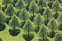 Lime Green (Aerial Photography) Tags: trees tree by munich mnchen landscape spring mood aerial m lime landschaft bume baum deu stimmung frhling luftbild linde luftaufnahme sdfriedhof obb lineoftrees bayernbavaria deutschlandgermany laubbaum perlach baumgruppe baumreihe rowoftrees fotoklausleidorfwwwleidorfde sailsevenseas 29042011 1ds61924 lindenbaumreihen