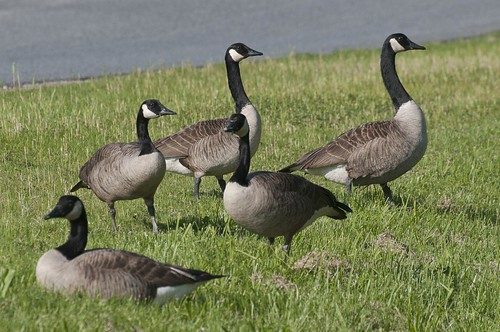 11-Geese2-3335
