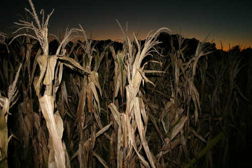 corn maze — oct 21