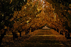 Autumn Watercolor (The Tango of Photography) Tags: autumn fall leaves path orchard treetrunks fruittrees sidelight alteredpse4watercolor smudgepots