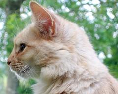 Douceur de septembre 2 (Lili-Vanille) Tags: cats cat chats chat somali t profil douceur