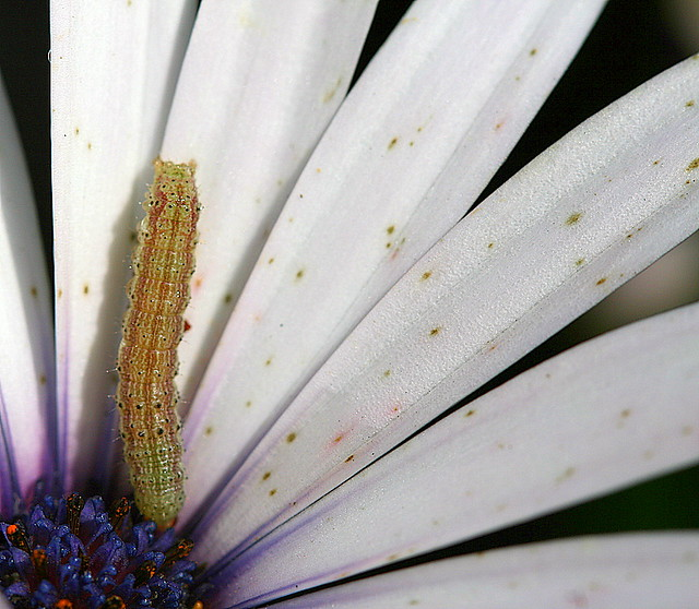 Inch worm on flower