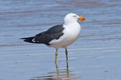 067002-IMG_2477 Pacific Gull (Larus pacificus) (ajmatthehiddenhouse) Tags: bird australia victoria vic 2007 larus pacificgull pacificus laruspacificus tfowb