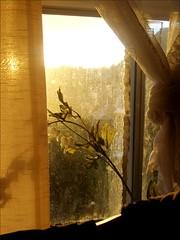 Dirty Window (Katy Milliner) Tags: light sunset flower window glowing dirtywindow