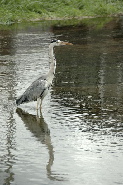 鴨川上的蒼鷺