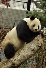 Tian Tian, he seems to enjoy having the tree all to himself (for the time being) (foocheung) Tags: panda nationalzoo pandas tiantian meixiang taishan