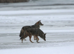 Coyotes (Hard-Rain) Tags: coyote nature wildlife predator cookcounty palosforestpreserve explore32 saganashkeeslough