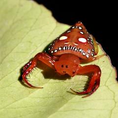 Triangular spider (Greg Miles) Tags: australia nsw araneidae mountwhite animalkingdomelite wildlifeofaustralia triangularspider arkyslancearius abcopen:project=upclose gregmiles