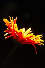 Sunny Side UP (rtrabq) Tags: orange flower yellow stem nikon bright nikond70 sb600 flame nomore strobe titlemeplease strobist noneofmyphotosmaybeusedwithoutmywrittenpermission