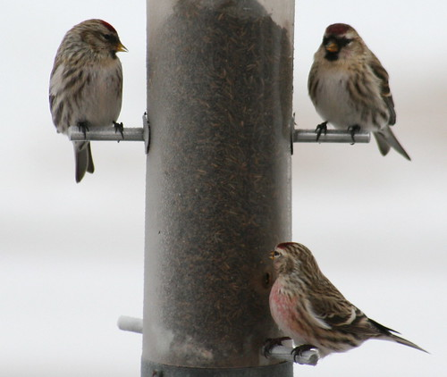 common redpoll 02