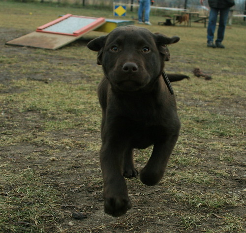 Black lab in action