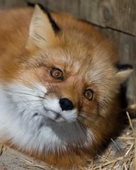 Red Fox (manuska) Tags: animal zoo wildlife impressedbeauty impressedbyyourbeauty diamondclassphotographer betterthangood natureselegantshots eyeofphotographer