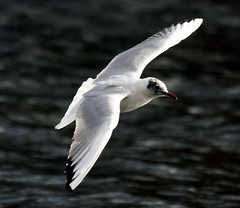 Flying High.... (law_keven) Tags: england seagulls bird london birds flying gulls flight feathers hydepark avian blueribbonwinner featheryfriday abigfave platinumphoto infinestyle diamondclassphotographer flickrdiamond ysplix ilovemypic theunforgettablepictures platinumheartaward theperfectphotographer davincitouch