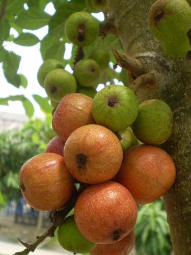 Cây Sung Ficus racemosa, họ Dâu tằm (Moraceae)