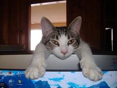Cleo 001 (philski2000) Tags: cats pets kittens
