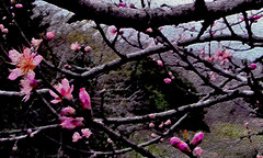 Pink Cherry-Tree Blooms (joehall45) Tags: pink cherry blossoms fade darkstrokes mywinners