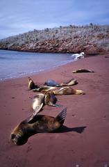 Sea lions on the beach  - Galapagos Islands (ladigue_99) Tags: cruise beach southamerica landscape islands darwin galapagos sealions spiaggia crociera sudamerica americadelsur leonimarini anawesomeshot impressedbeauty theoryofevolution ladigue99 teoriadellevoluzionedellaspecie