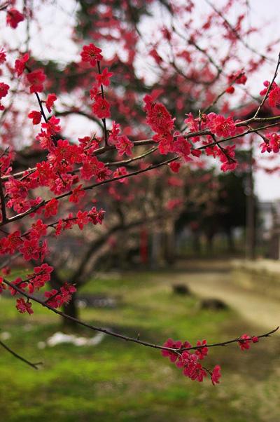 菅原神社の梅1