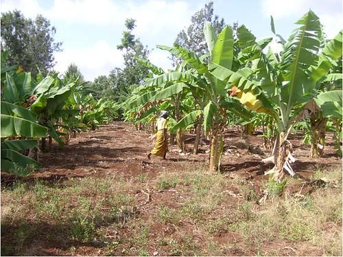 Ukulima Wetu - How to farm bananas