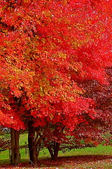 Three Trees In Red (Baab1) Tags: autumn trees nature leaves landscapes maryland shade reds scenics dlux smorgasbord masterclass southernmaryland calvertcountymaryland leicadlux3 treesubject diamondclassphotographer naturewatcher huntingtownmaryland