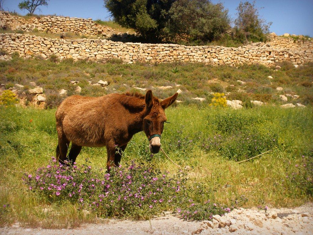 Cyprus donkey