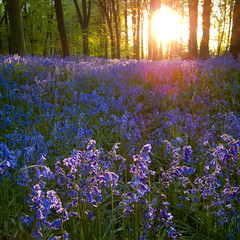 Bluebells in the evening (Christopher_Hawkins) Tags: wood sun tree beach bluebells purple hampshire beechwood hants micheldever ricohgrdigitalii