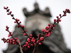 Ready to Burst into Spring (Rekishi no Tabi) Tags: japan kyoto 京都 shinto 北野天満宮 earlyspring 梅 plumblossoms shintoshrines kitanotenmangū kitanotenmangūshrine sugarawamichizane