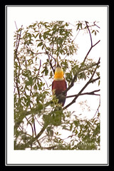 Tucano-de-bico-verde (Ramphastos dicolorus) Red-Breasted Toucan (Johanes Duarte 2013) Tags: toucan aves jb tucano ramphastos ramphastosdicolorus redbreastedtoucan