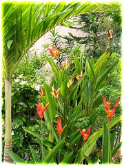 Various cultivars of potted Heliconia psittacorum lining our fence border at the frontyard, taken October 6, 2007