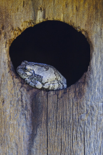 Tree Frog in Bird House