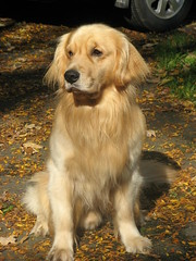 Arthur... (ccindigirard) Tags: friends eye goldenretriever pictureperfect smorgasbord aphoto blueribbonwinner supershot aplusphoto picturepages caninecrown bicul animalrealm goldstaraward thebestofgodscreation mostbeautifulpictures