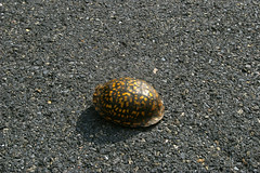 Eastern Box Turtle, Historic National Road, Maryland