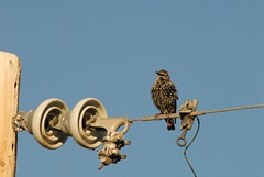 DSC_0014.JPG (webber0075) Tags: autumn sky usa fall birds colorado brighton wires poles hangingout adamscounty starlings commercecity goldenlight thewest nearbarrlake unincorporatedarea