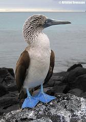 Blue-footed Booby (Sula nebouxii excisa) (macronyx) Tags: bird nature birds ecuador wildlife birding aves galapagos birdwatching booby sula bluefootedbooby sulanebouxii sulanebouxiiexcisa