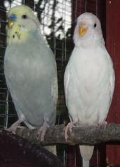 PB040115_crop (Chris....) Tags: birds budgie eneerc