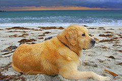 Isn`t she a beauty ? (steinliland) Tags: sea dog beach golden retriever mywinners platinumphoto anawesomeshot superbmasterpiece excellentphotographer platiniumphoto