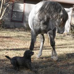 20 pound poodle vs 900 pound horse, poodle wins