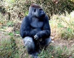 Animal - Silverback Gorilla at the National Zoo (blmiers2) Tags: travel vacation nature beautiful animal animals canon geotagged zoo washingtondc dc washington nikon gorilla great powershot national ape nationalzoo faves a1 g6 gorrilla apes vacanza gorillas herbivore silverback greatape bello lowland silverbackgorilla greatapes lowlandgorilla silverbacks gorillagorillagorilla thegorilla gorillacloseup malegorilla 200711 lowlandgorillas gorillasilverback animaks concordians silverbackgorillas gorillaeyes gorillapictures gorillapicture gorillaphotos gorillaspictures gorillahair gorillanose thesilverback thegorillas silverbackgorillaatthenationalzoo gorillapics gorillasilverbacks gorillassilverback silverbackgorillaphotos silverbackimages silverbackphotos thesilverbackgorilla blm18 blmiers2