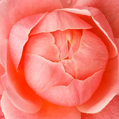 The Last Rose in the Garden (avirus) Tags: pink winter flower macro fall beauty rose closeup last 702004lis