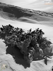 Snowy pine (Giulio Speranza) Tags: winter sun mountain snow cold pine blackwhite neve sole pino inverno montagna freddo luce abruzzo ligh