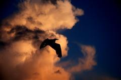 Flying solo (kees straver (will be back online soon friends)) Tags: light sunset shadow sky orange sun black tree silhouette clouds sunrise searchthebest diemen 1785mmf456isusm keesstraver