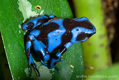 Poison frog - Dendrobates auratus (Lus Louro) Tags: blue macro nature colors beautiful animals ilovenature nikon rainforest colorful wildlife small amphibian frog planet poison dart panam roygbiv anuran