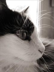 Chat (skymant) Tags: blackandwhite white black france cat chat noir noiretblanc fujifilm f11 blanc bestofcats skymant
